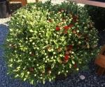 Chrysanthemum patio-pot
