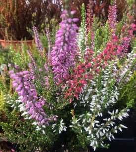 "Zentastic, a mix of ""Zoe"", ""Zeta"" and ""Zulu"" heather varieties."