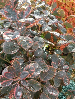 """Royal Purple"" smoke bush"