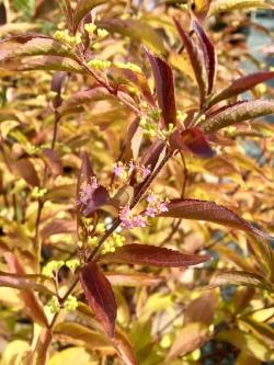 Dark star deciduous shrub