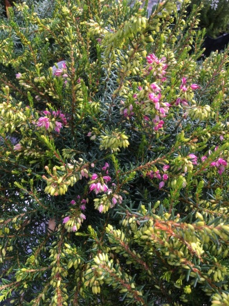 """Darley Dale"" heather"