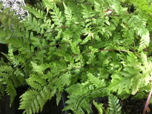 Red-stemmed lady fern