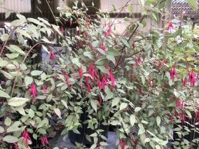 Fuchsia macrostema