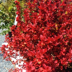 Barberries have great color right now!
