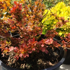 Barberry red