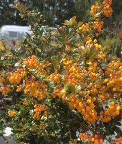 Barberry yellow 2