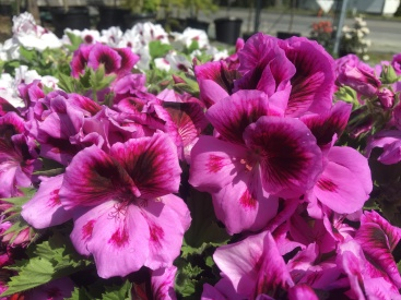 Gorgeous Martha Washington geraniums!