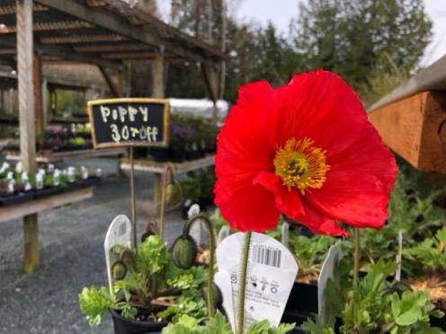 Poppies are coming!