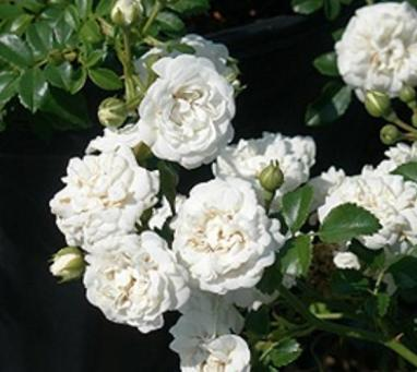"""White Drift"" Rose"