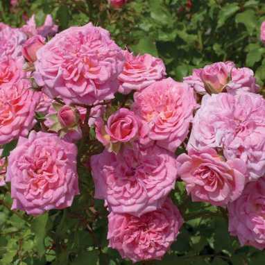 """""""Sweet Drift"""" Rose"""