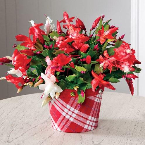 """Candy-Cane"" Christmas Cactus, Schlumbergera genus."