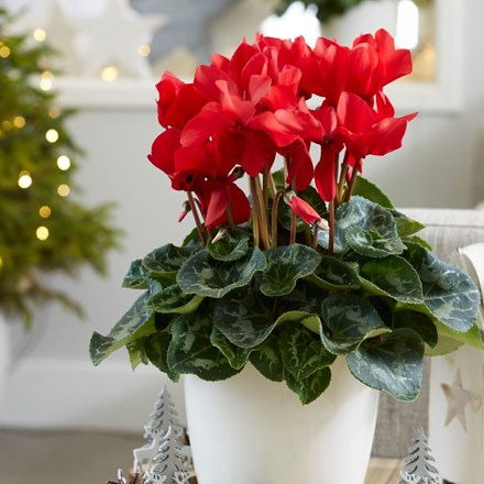 Rainier Scarlet Red Cyclamen
