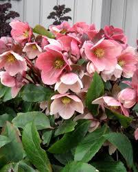 """Pink Frost"" Helleborus"