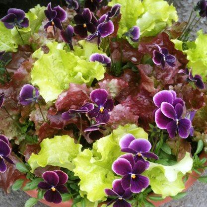 Lettuce & violas