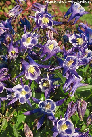 "Aquilegia vulgaris ""Winky"" Blue & White"
