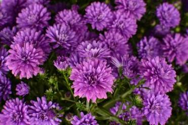 "Aster Royalty ""Henry III Purple"""