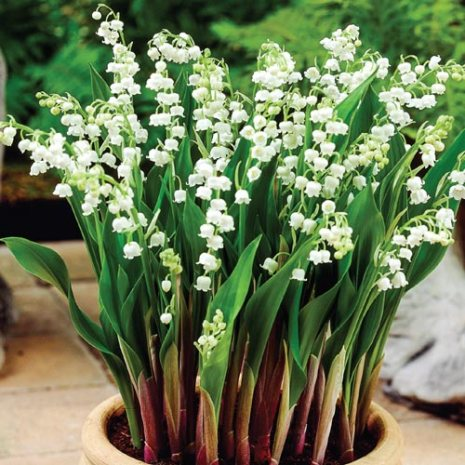 Lily of the Valley (photo: Brecks)